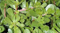 How to deal with garden purslane