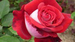 Как сохранить саженцы роз