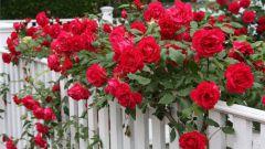 Как выращивать вьющиеся розы