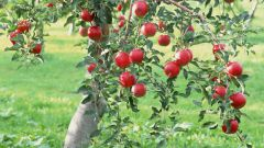 Why not a fruiting Apple tree