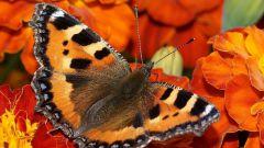 Как происходит развитие бабочки
