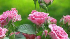 Как пересаживать чайную розу
