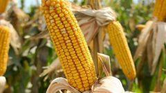 Как отличить кормовую кукурузу