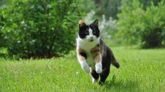 Как ходит кошка