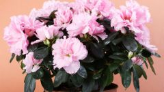 Why azaleas deciduous leaves?