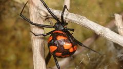 Does Russia have poisonous spiders