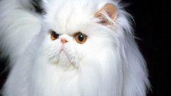 Как подстричь пушистого кота?