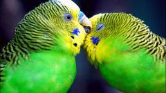 Сколько лет живут волнистые попугаи в домашних условиях?