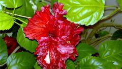 Как заставить китайскую розу показать свои цветы?