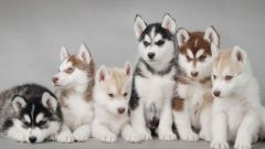 How much is a husky puppy