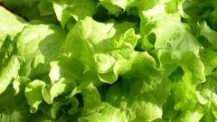 Как сажать салат?