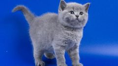 How much is the kitten of the British?