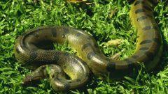 Какие самые большие змеи в мире
