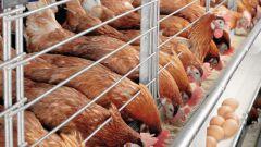 Как бороться с куриными вшами?
