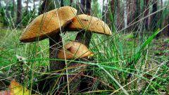 Где лучше собирать грибы в Подмосковье