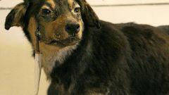 Кто она, собака Павлова - героиня или жертва?