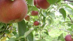 Какие плодовые деревья посадить на даче?
