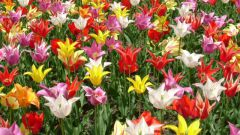 Как ухаживать за тюльпанами