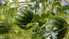 Как вырастить арбуз в средней полосе