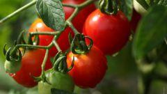 Как правильно проходит посадка томатов