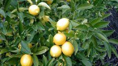 Как ухаживать за лимонным деревом