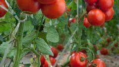 Основные моменты для получения большого урожая томатов.