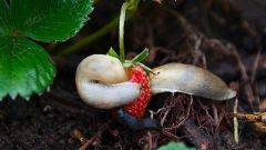 How to get rid of slugs in strawberries