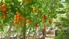 How to tie up tomatoes in the greenhouse from polycarbonate