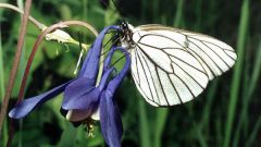 Butterfly-aporia Crataegi: methods of struggle