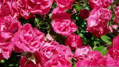 Рецепты варенья из лепестков розы и одуванчиков