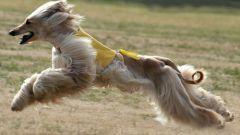 Афганская борзая - наперегонки с ветром