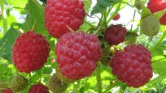 How to water raspberries