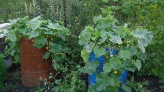 Выращивание огурцов в бочке: плюсы и минусы