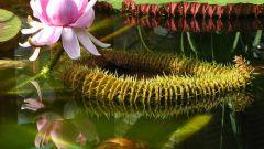 Самое большое водное растение на нашей планете