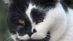 В каком возрасте лучше кастрировать кота