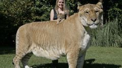 Какое животное из семейства кошачьих самое крупное