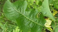 How to prepare horseradish leaves for the winter