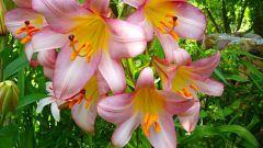 Красивый сад: выращиваем лилии
