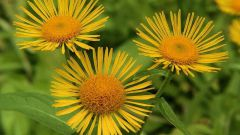 How to drink a decoction of the roots elecampane