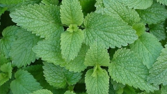 How to grow mint and lemon balm at home