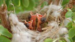 Как вырастить птенца