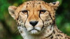 Чем отличается гепард от леопарда
