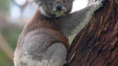 Как нарисовать коалу карандашом