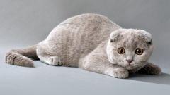 Чем отличаются шотландские и британские коты