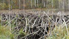 Зачем бобры строят плотины