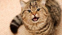 Зачем кастрировать котов