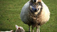 Кого можно назвать волком в овечьей шкуре