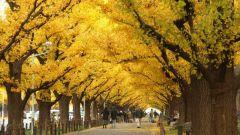 Какое дерево можно назвать живым ископаемым