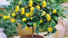 Что можно вырастить из фруктовой косточки