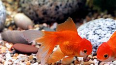 Why goldfish turn black